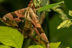 DSC_9166 (Adrian Royle) Tags: lincolnshire bardneylimewoodsnnr nature wildlife insect lepidoptera moth hawkmoth limehawkmoth mimastiliae macro mating sex nikon