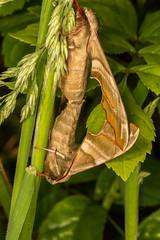DSC_9157 (Adrian Royle) Tags: lincolnshire bardneylimewoodsnnr nature wildlife insect lepidoptera moth hawkmoth limehawkmoth mimastiliae macro mating sex nikon