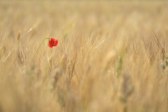 Coquelicot (Melvin. A) Tags: coquelicots champ