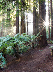 Let the sun shine in (stevecart84) Tags: trees ferns sunrays otways otway ranges redwoods californian nature outdoors nikon d7200 sigma colac victoria sun