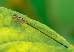 Back light. (Omygodtom) Tags: existinglight elitebugs damsel tamron texture macro bokeh d7100 usgs flickriver insect bug