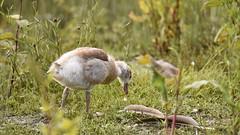 Juvenile Egyptian Goose, Dinton Pastures (rq uk) Tags: rquk nikon d750 nikond750 tamronspaf150600mmf563divcusd dintonpastures egyptiangoose wokingham juvenile