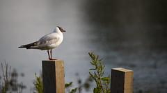 Black-headed Gull, Dinton Pastures (rq uk) Tags: rquk nikon d750 dintonpastures wokingham post blackheadedgull nikond750 tamronspaf150600mmf563divcusd