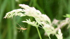 Spider (rq uk) Tags: rquk nikon d750 afsnikkor70200mmf28efledvr afsteleconvertertc14eiii dintonpastures nikond750 wokingham spider arachnid