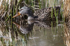 IMG_4847 female green winged teal (starc283) Tags: bird birding birds starc283 flickr flicker flora waterfowl duck teal greenwingedteal nature naturesfinest naturewatcher