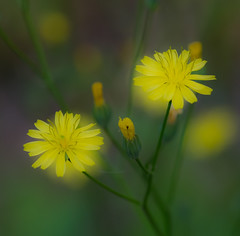 Yellow Fog. (Omygodtom) Tags: flora flower tamron90mm texture fog blur macro dof bokeh yellow flickriver lowkey wildflower