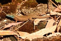 Blue-throated Keeled Lizard (Algyroides nigro-punctatus) (Pete Rodgers) Tags: corfu lizard reptile reptiles lizards dalmationalgyroides bluethroatedkeeledlizard