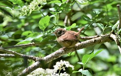 Wren in the sunshine. (pstone646) Tags: wren bird nature wildlife animal fauna branch tree sunshine bokeh flora perching