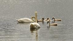 White Swan Family (rq uk) Tags: rquk nikon d750 dintonpastures wokingham nikond750 afsnikkor70200mmf28efledvr afsteleconvertertc14eiii adult juvenile whiteswanlargewatersidebirds