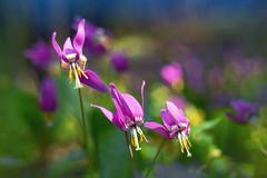 (marussia1205) Tags: кандык сибирский цветы