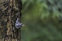 Black and white warbler (Khurram Khan...) Tags: wildlife wildlifephotography wild wwwkhurramkhanphotocom songbirds springmigration khurramkhan nikon nikkor naturephotography iamnikon nikonnofilter trees spruce