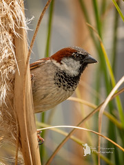 House Sparrow (Lumen01) Tags: bird sparrow house nature garden wildlife on1 on1raw nikon d800 sigma british