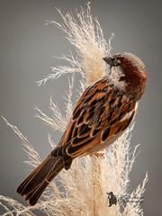 Sparrow (Lumen01) Tags: bird sparrow house garden wildlife british on1 on1raw nikon d800 sigma