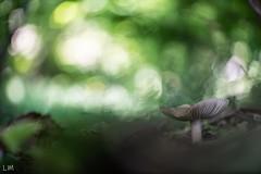Champignon (Manonlemagnion) Tags: nature sauvage champignon macro lumière sousbois bokeh forêt nikond810 105mm28