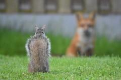 Regretful decision (Peter Granka) Tags: grey squirrel redfox fox