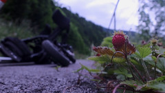 Erdbeere am Wegesrand (Dioscorea Mexicana) Tags: erdbeere strawberry ybbs ybbstal ybbstalradweg niederösterreich österreich austria