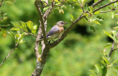 In The Green (Diane Marshman) Tags: adult mature female eastern bluebird easternbluebird small songbird rusty brown chest breast white blue wings head body tail feathers spring apple fruit tree branch green leaves pa pennsylvania nature wildlife birding