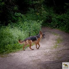 German Sherherd (Allevamento Casa Caligiani) Tags: germanshepherd pastoretedesco schäferhund gsd cane dog natura bevagna umbria italia