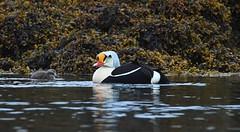 King Eider 28 (æðarkóngur) (Svenni and his Icelandic birds.) Tags: kingeider æðarkóngur somateriaspectabilis