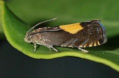 Regal Piercer (Arnt Kvinnesland) Tags: regalpiercer pammeneregiana moth butterfly insect tortricidae plantanlønnsolvikler viklere sommerfugler møll hage lønn sommer juni hageliv blikshavn karmøy norway