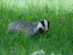 Erwischt :-) (isajachevalier) Tags: dachs tier wildtier natur panasonicdmcfz150
