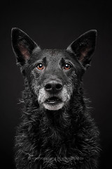 Where are the cookies, Susan? (Wieselblitz) Tags: dog dogs dogphotographer dogphotography dogportrait doginthestudio black blackdog blackonblack studio studioportrait studiodogportrait pet pets petportrait petphotography surprise surpriseddog commercialphotography commercialdogphotographer commercialpetphotography commercialdogphotography commercialpetphotographer elkevogelsang wieselblitz shepherd mudi mongrel mutt halfbreed face portrait portraitpet portraitstudio