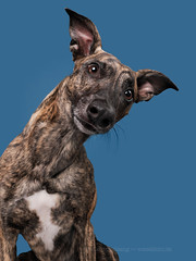 Rosco tilting (Wieselblitz) Tags: dog dogs photography dogphotography dogphotographer emotion character personality pet pets petphotographer petphotography whippet mongrel mutt halfbreed studio portrait studiodog doginthestudio