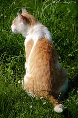 Balboa (R.O. - Fotografie) Tags: balboa kater hangover cat nahaufnahme rückansicht closeup close up rofotografie gras grass panasonic lumix dmcgx8 dmc gx8 gx 8 outdoor outside pet haustier tier animal action erkeln