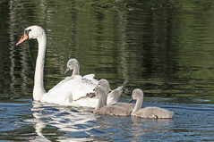 Mute Swan mother and Cygnets (Paul-nature) Tags: muteswanmotherandcygnets muteswan cygnets nature lake water