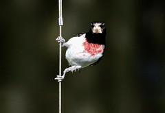 Wire Posing (Diane Marshman) Tags: rosebreasted grosbeak red chest breast black head wings tail feathers white belly underneath medium size bird clinging hanging wire cable spring pa pennsylvania nature wildlife birding