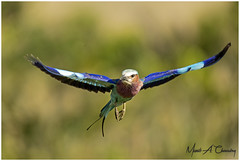 I Wish I Could Fly! (MAC's Wild Pixels) Tags: iwishicouldfly lilacbreastedroller coraciascaudatus roller bird birder birdlife birdwatcher birdperfect birdsofeastafrica birdlifephotography beautifulbird colourfulbird colourfulroller avian plumage feathers ornithology animal wildlife africanwildlife wildafrica wildanimal wildbird wildlifephotography safari gamedrive outdoors outofafrica nature naturephotography birdinflight bif lilacbeauty masaimara maasaimaragamereserve kenya macswildpixels wildpixelssafaris munibachaudry
