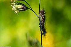 Die kleine Raupe I (J.Weyerhäuser) Tags: makro natur oberolmerwald raupe insekt