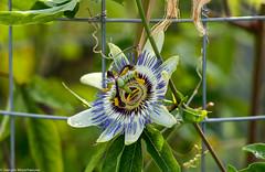 Botanischer Garten - Passionsblume (J.Weyerhäuser) Tags: botanischer garten passionsblume makro natur flower blume hff fenced friday