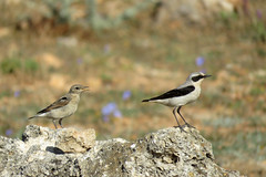 Male & fledgling Northern Wheatear. (Vitaly Giragosov) Tags: oenantheoenanthe northernwheatear crimea sevastopol russia каменкаобыкновенная севастополь крым рф певчие
