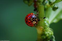 Mittagstisch - Blattläuse (J.Weyerhäuser) Tags: makro natur oberolmerwald blattlaus ladybug junikäfer insekt incest