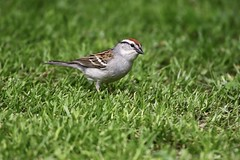 Chipper (Diane Marshman) Tags: chippingsparrow chipping sparrow small bird gray chest breast underneath rusty brown head white face stripe feathers grass spring pa pennsylvania nature wildlife birding