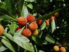 イチゴノキ (arty822) Tags: fruit イチゴノキ 赤