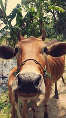 Curious mind wants to pose (2° Formation) Tags: cow innocent staring cute adorned animal