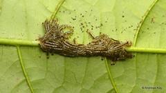 Fungus gnat larvae, Sciaridae (Ecuador Megadiverso) Tags: andreaskay diptera ecuador fungusgnat larva sciaridae
