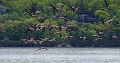 Elles volent - They fly (J. Trempe 3,960 K hits - Merci-Thanks) Tags: stefoy quebec canada oie geese outardes oiseau birg nature eau water fleuve river stlaurent stlawrence