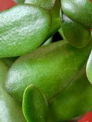 Jade plant leaves (tanith.watkins) Tags: curves macromondays jadeplant