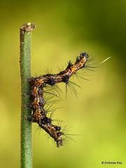 TIger Moth Caterpillar, Dysschema sp. (Ecuador Megadiverso) Tags: arctiidae arctiinae caterpillar dysschemasp ecuador erebidae spiny tigermoth