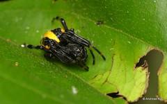 Orb Weaver, Alpaida truncata (Ecuador Megadiverso) Tags: andreaskay arachnida ecuador spider alpaidatruncata