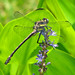 Dragonhunter male on pickerel weed