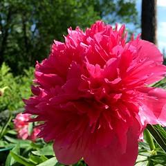 Deep Pink Peony (halleluja2014) Tags: flower peony xl dalarna falun paeonia deeppink pion summer june