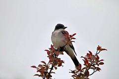 Eastern Kingbird (Tyrannus tyrannus) (WestieDancer) Tags: eastern kingbird tyrannus outdoors bird tree