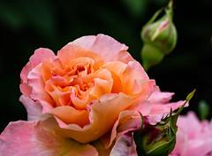 6M7A6307 (hallbæck) Tags: rose blomst flower blume fleur fiore flor blomma plante plant natur nature mh hørsholm denmark june2019 canoneos5dmarkiii ef100mmf28lmacroisusm macro flowerscolours