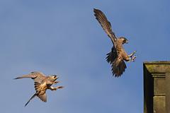 IMG_9181 (superbrad-) Tags: superbrad superbradphotos ianbradley derbyshire belpereastmill belperrivergardens belperperegrines peregrin falcon eyass tiercel peregrinejuvenile raptors falcons birdsofprey