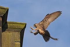 IMG_9166-1 (superbrad-) Tags: superbrad superbradphotos ianbradley derbyshire belpereastmill belperrivergardens belperperegrines peregrin falcon eyass tiercel peregrinejuvenile raptors falcons birdsofprey