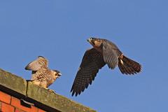 IMG_9150 (superbrad-) Tags: superbrad superbradphotos ianbradley derbyshire belpereastmill belperrivergardens belperperegrines peregrin falcon eyass tiercel peregrinejuvenile raptors falcons birdsofprey